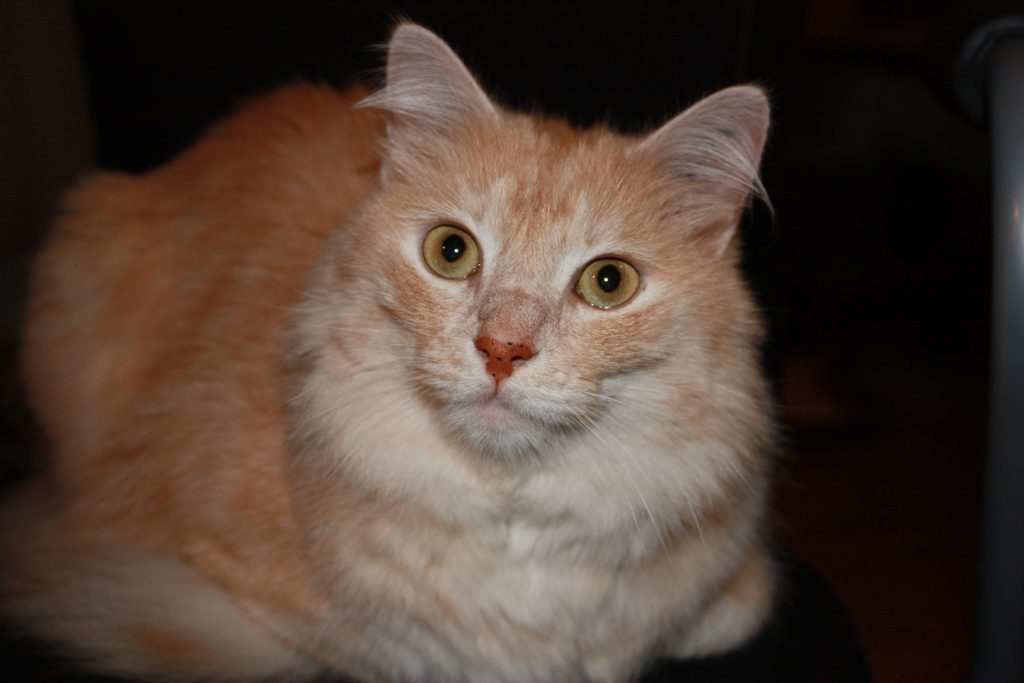 All about Turkish Angora cats